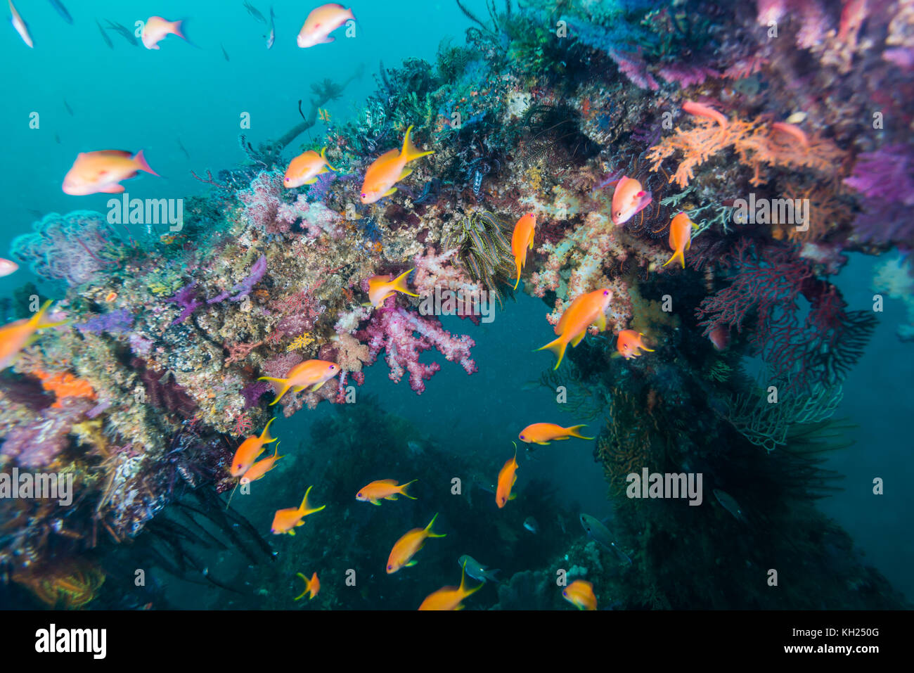 Fish reef with soft coral and Sea Goldie. Owase, Mie,Japan - Stock Image