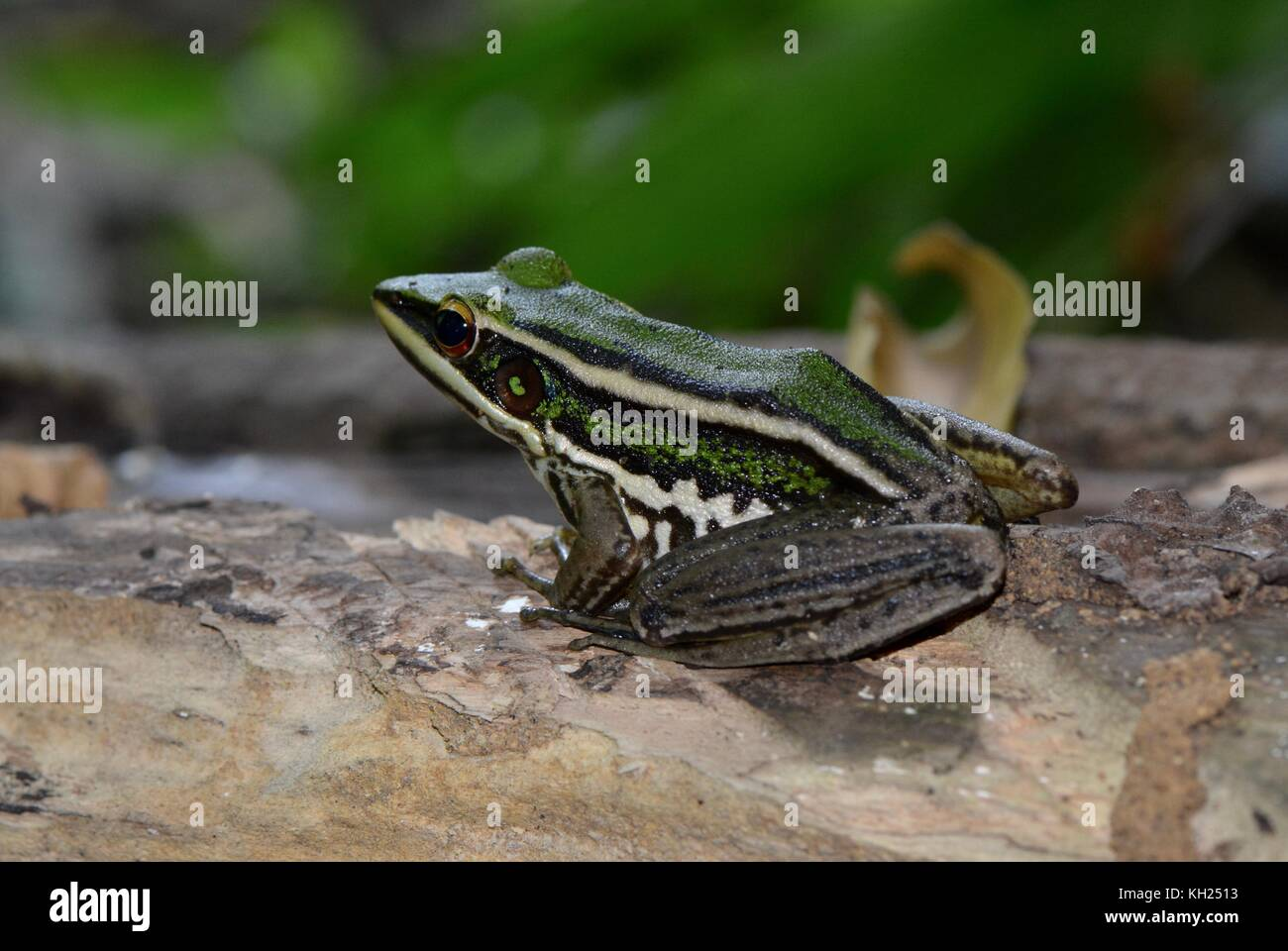 common green paddy frog - Stock Image