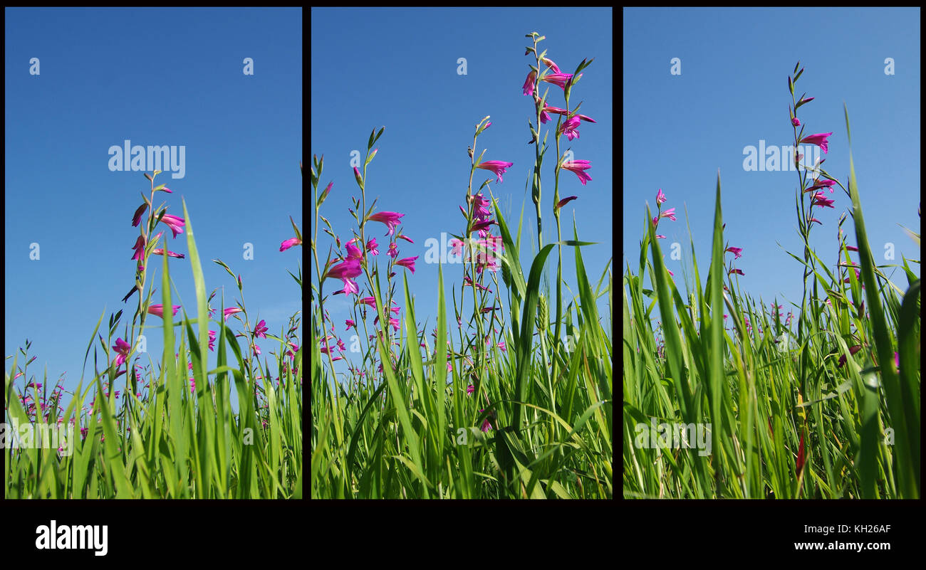 Wild gladiolus (Triptych: picture molded into three fields for the printing of decorative panels) - Stock Image