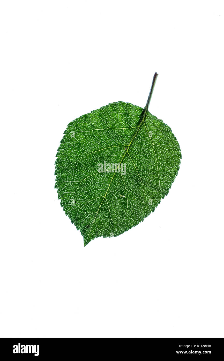 Close up of a green bramley apple leaf against a white background - Stock Image