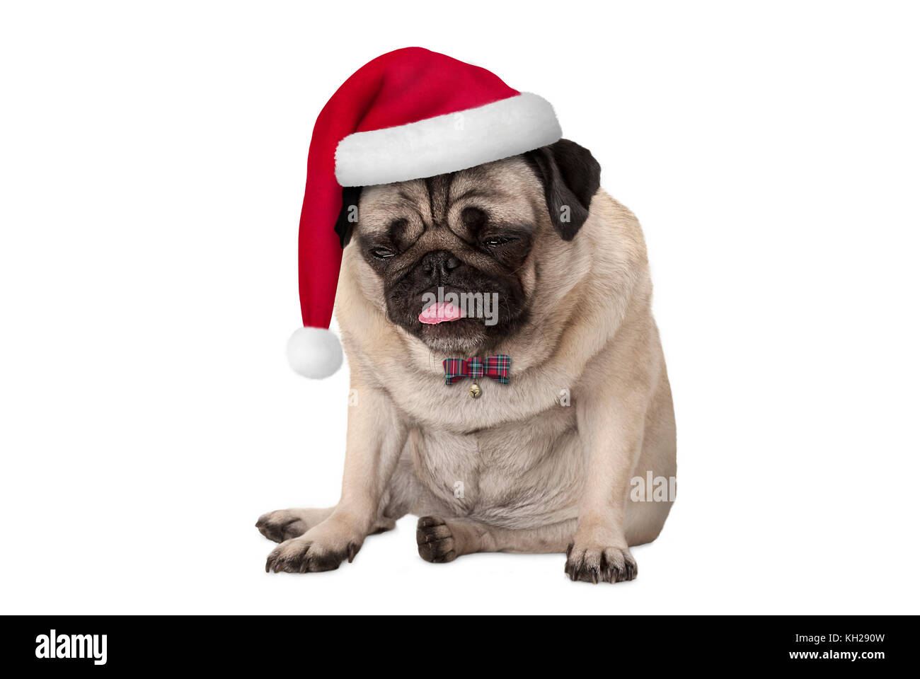 funny grumpy faced pug puppy dog with red santa hat for Christmas sitting down, isolated on white background - Stock Image