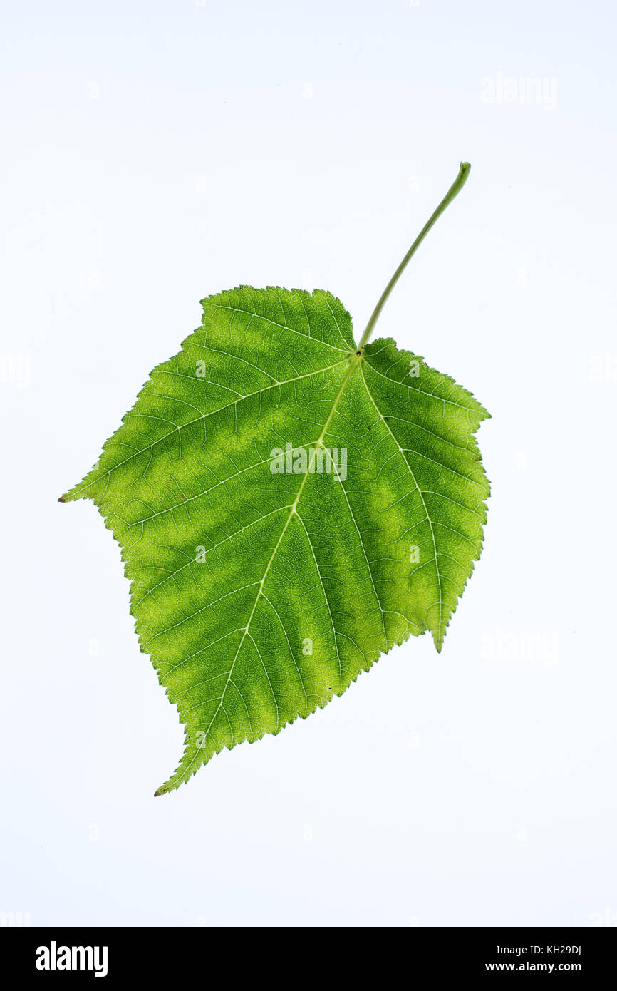 Close up of a leaf of snakebark maple against a plain background - Stock Image