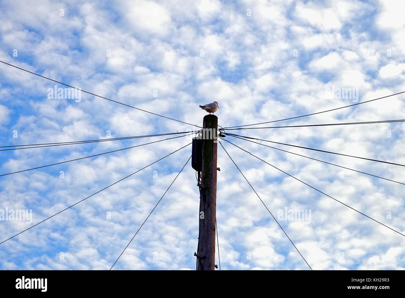 Bird sitting on top of a British telecom telegraph pole against a background of a mackerel sky - Stock Image