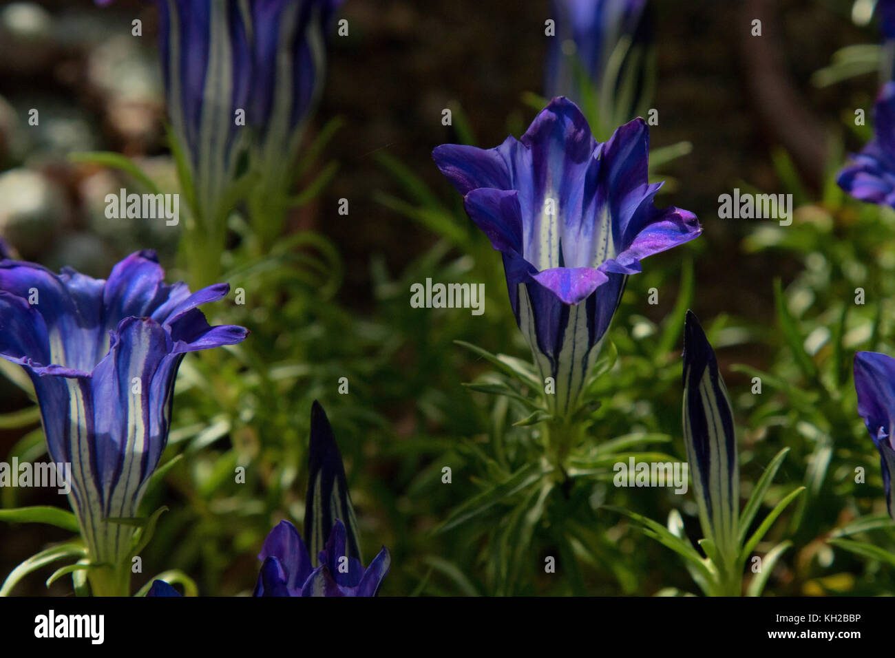 Gentiana blue silk flowers stock photo 165395322 alamy gentiana blue silk flowers izmirmasajfo