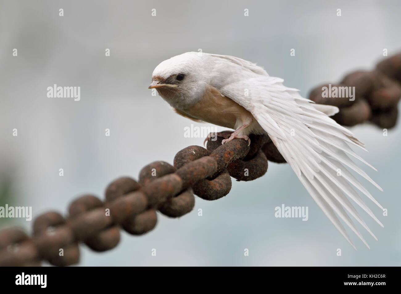 Barn Swallow ( Hirundo rustica ), fledged, rare pigment defect, white plumage, leucistic, leucism, perched on massive - Stock Image