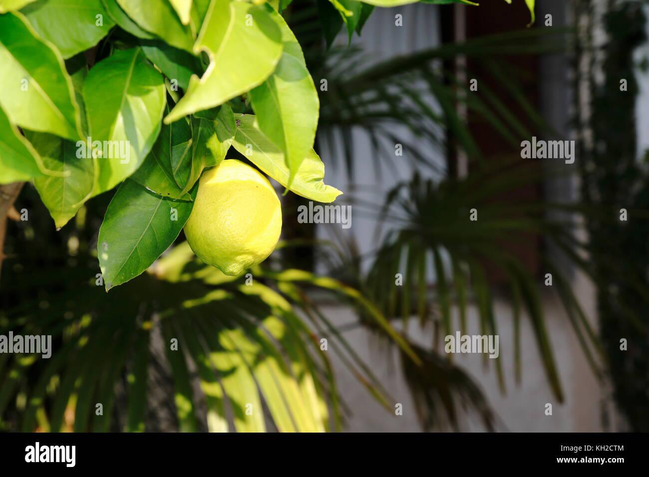 Zitrone, Limone, Limette, am Baum Stock Photo
