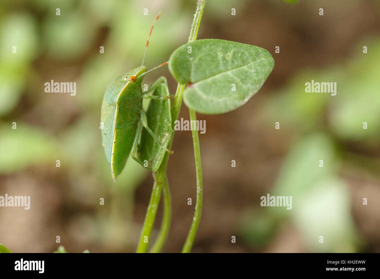 Green bug finds its favorite leaves. Example of perfect mimicry of Nezara viridula to local vegetation to hide from - Stock Image