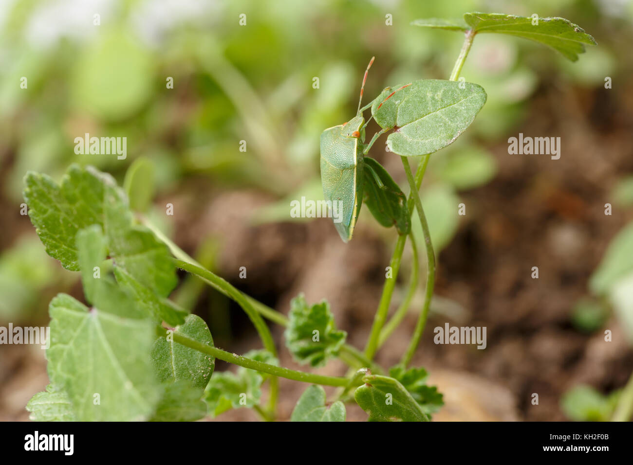 Green stink bug getting safe by mimicking the environment. Example of perfect mimicry of Nezara viridula to local - Stock Image