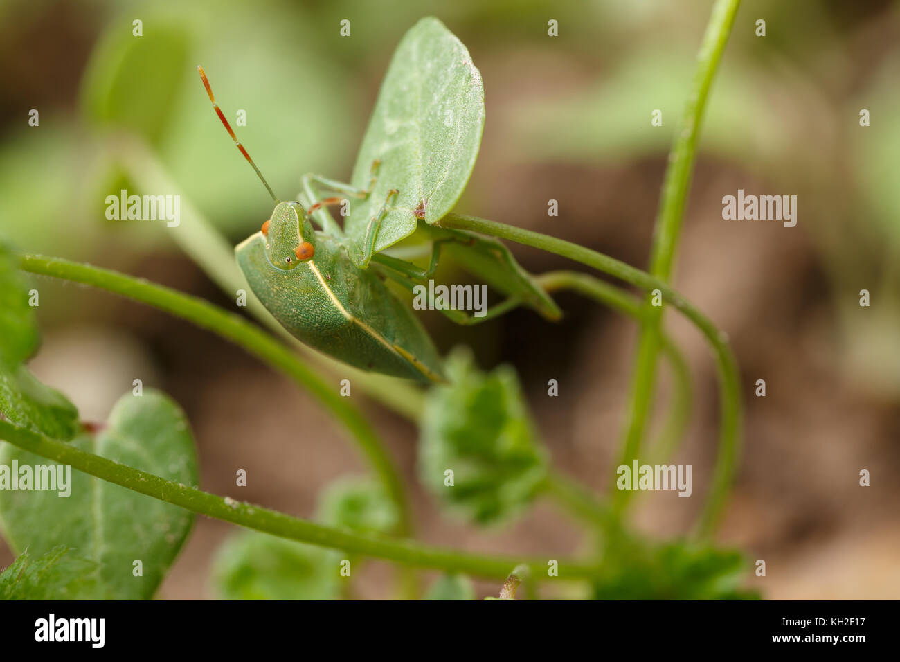 Close-up of green stink bug getting safe by mimicking the environment. Perfect mimicry of Nezara viridula to local - Stock Image