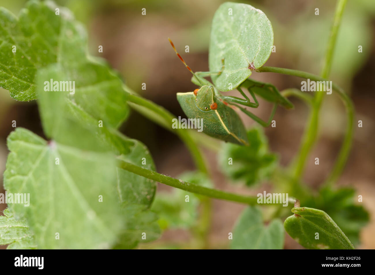 Detail of southern green shield bug getting safe by mimicking the environment. Mimicry of Nezara viridula to local - Stock Image