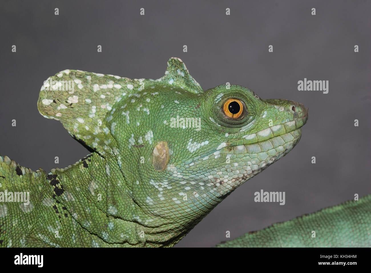 Plumed Basilisk, Basiliscus plumifrons Stock Photo