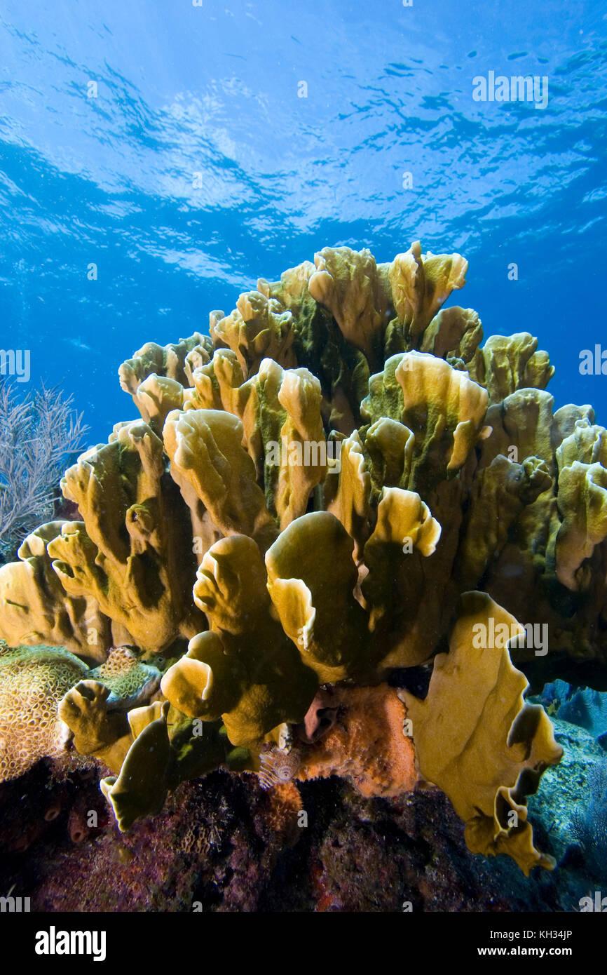 Blade Fire Coral, Millepora sp., Florida Keys National Marine Sanctuary - Stock Image