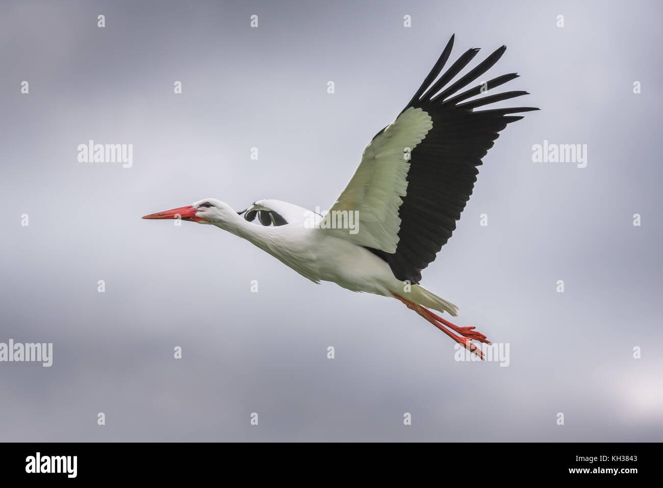 White Stork in Flight - Stock Image