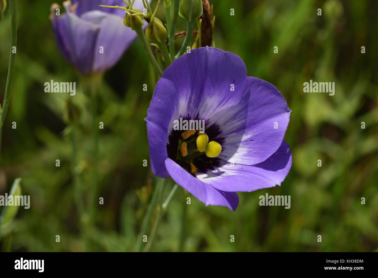 Texas bluebell - Stock Image
