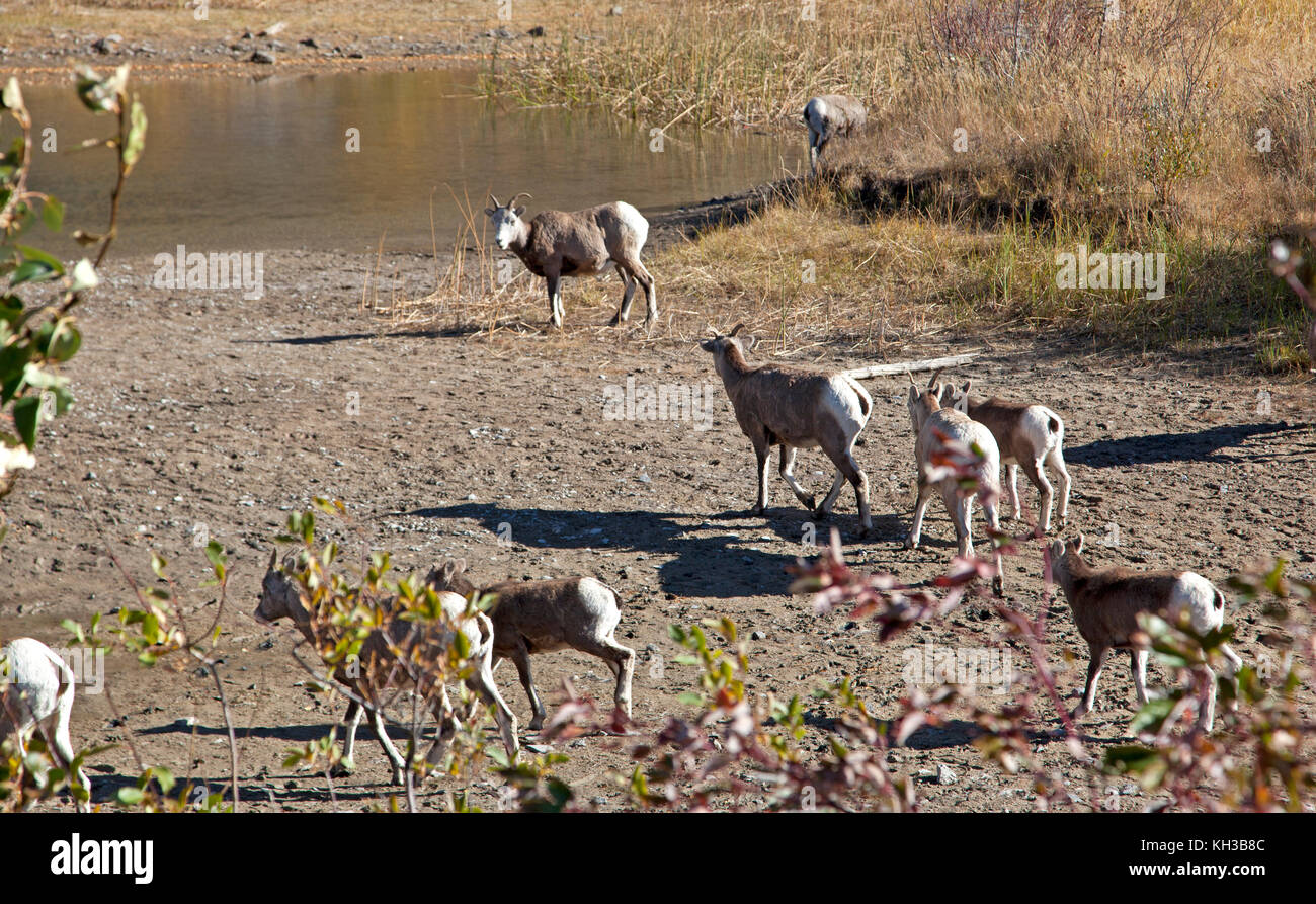 a herd of sheep wander together by a lakeside - Stock Image