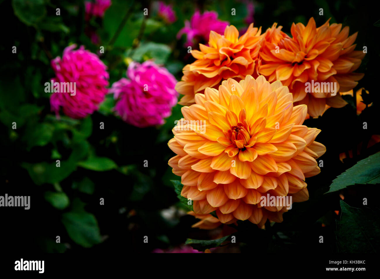 Multiple orange and pink dahlias with green leaves in background - Stock Image
