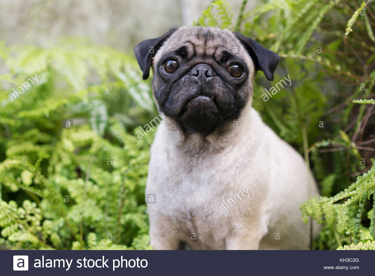Portrait of a pug dog in the garden - Stock Image