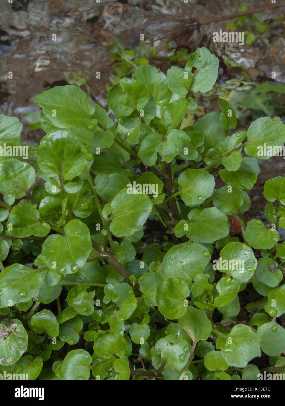 Water-cress / Rorippa nasturtium-aquaticum / Nasturtium aquaticum / Nasturtium officinale growing in the wild. Stock Photo