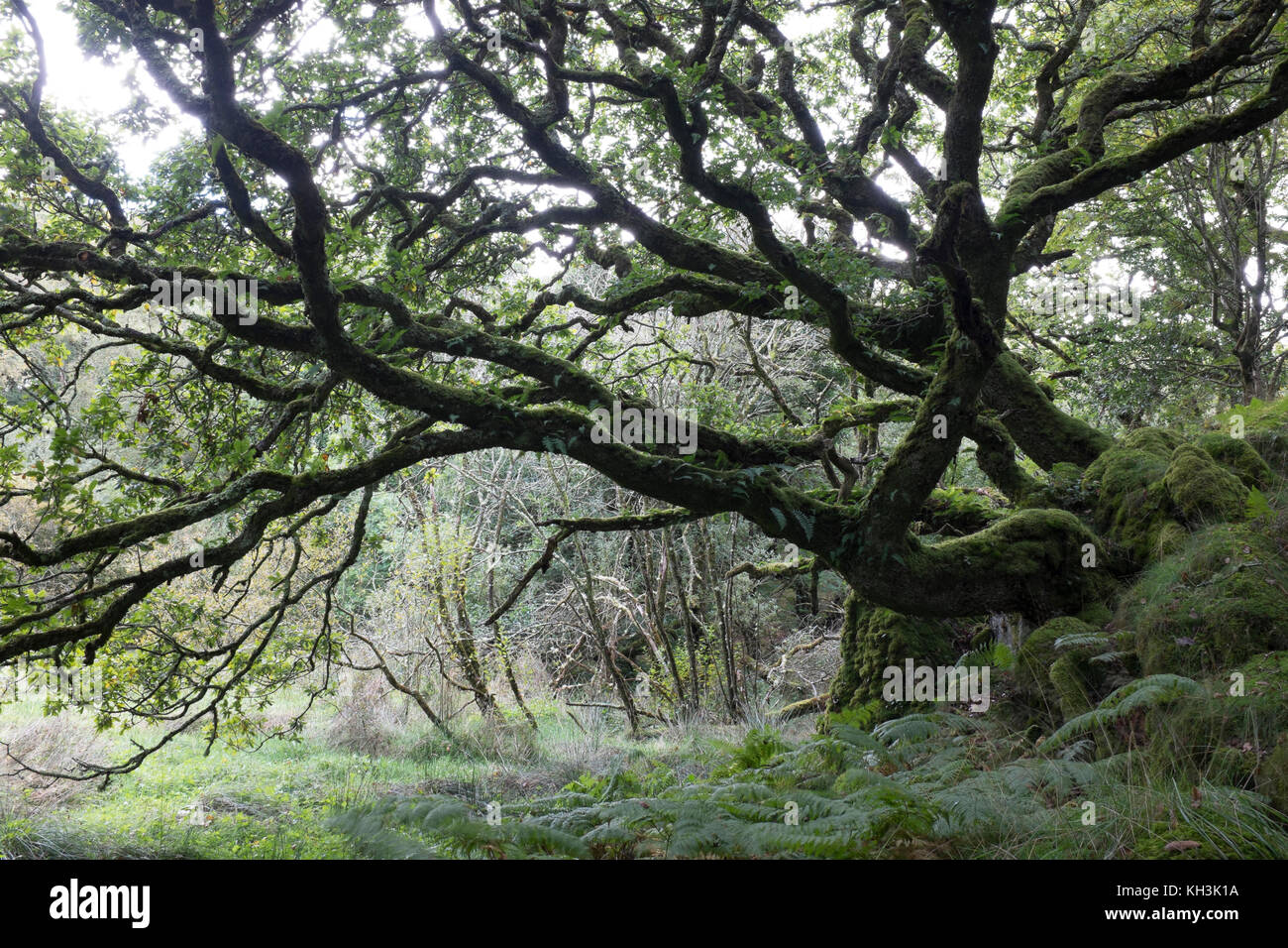 Ancient oak in Wales at the Ty Canol woods - Stock Image