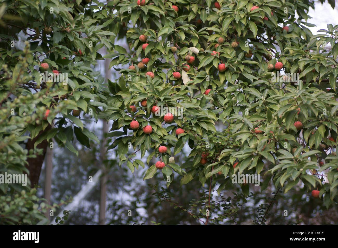 Fruits of Cornus capitata (Himalayan Srawberry Tree) - Stock Image