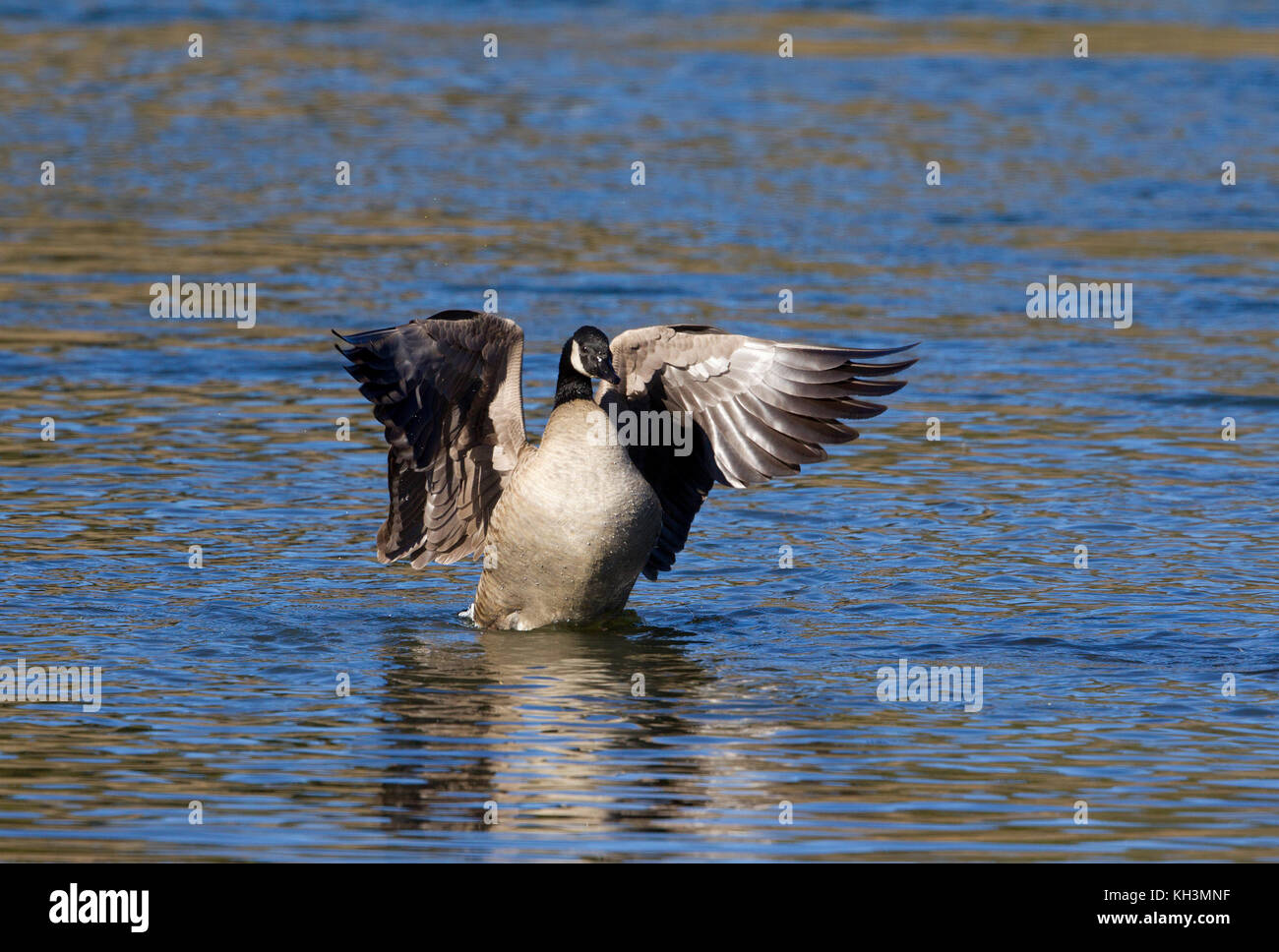 Canada Goose Flapping - Stock Image