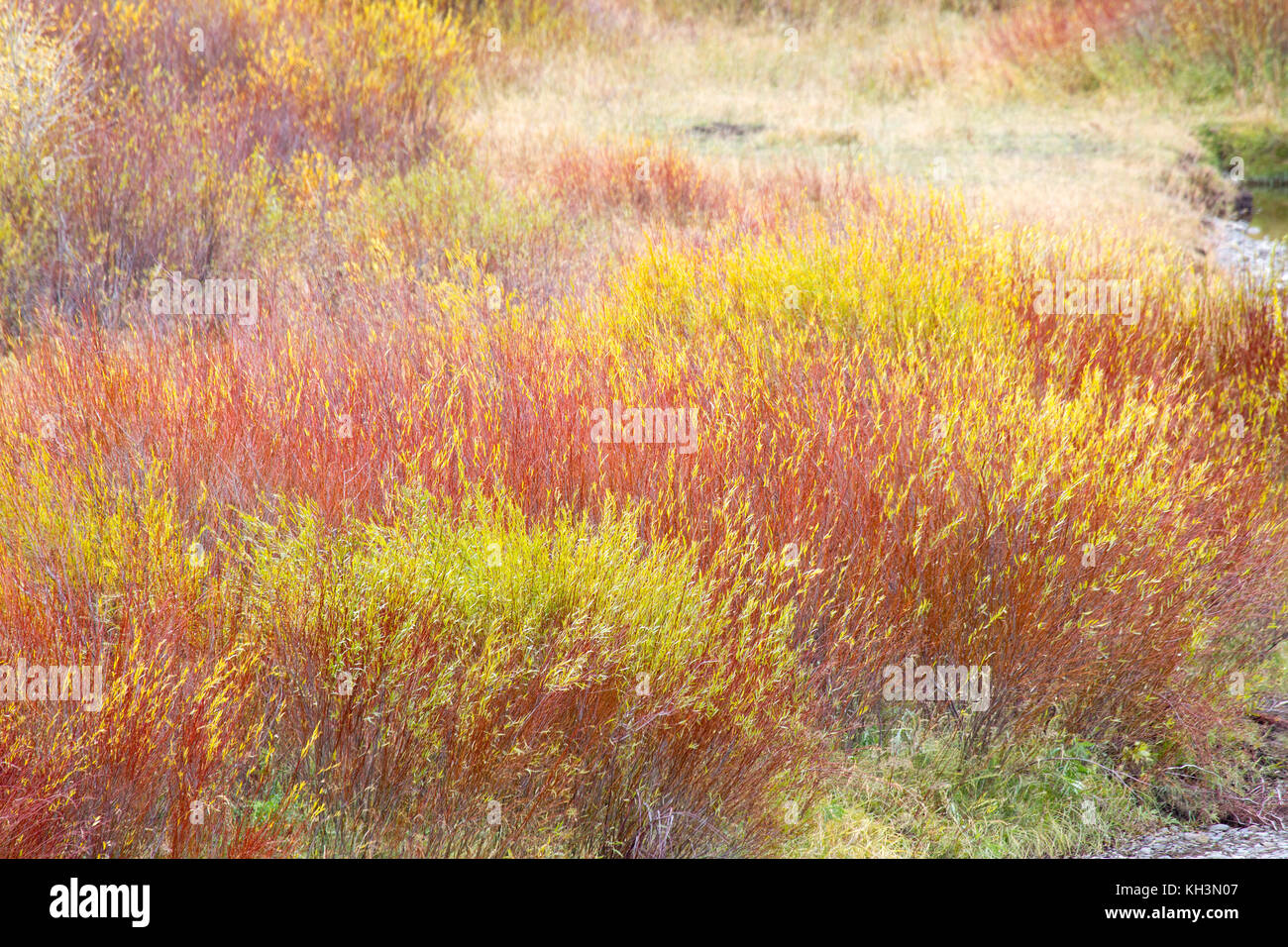 Colorful Willows - Stock Image
