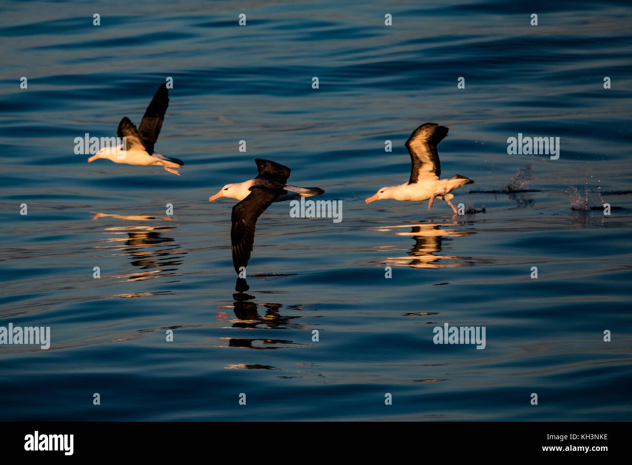 Black-browed Albatross taking off with no wind and glassy seas near Cape Horn, Chile - Stock Image