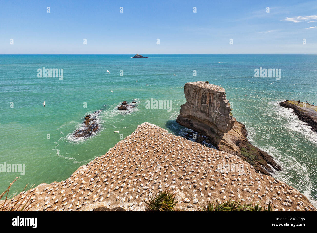 Muriwai Gannet Colony, Auckland, New Zealand. - Stock Image