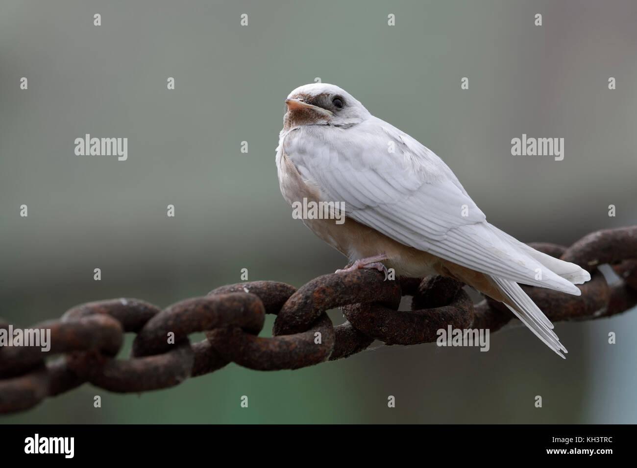 Barn Swallow / Rauchschwalbe ( Hirundo rustica ), just fledged, gene defect, white plumage, leucistic, leucism, - Stock Image
