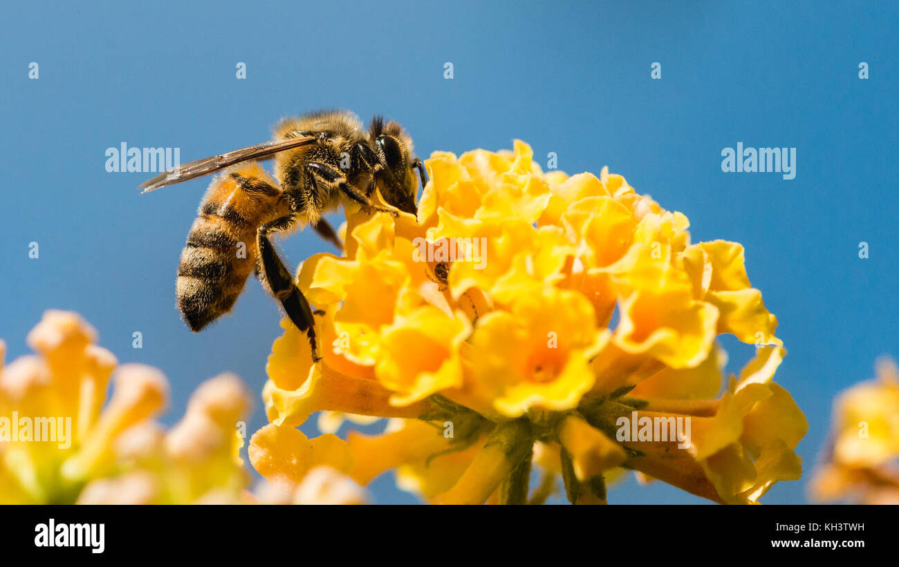 A macro shot of a honey bee collecting pollen from a yellow butterfly bush. - Stock Image