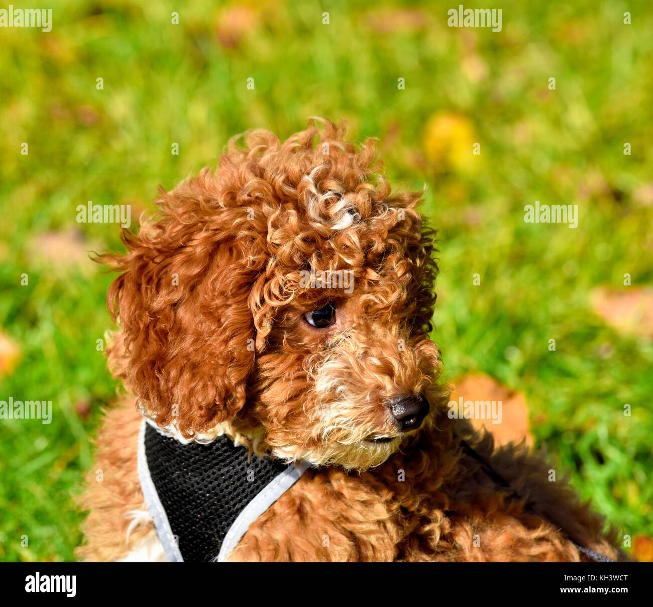 Red Cockapoo Puppy Dog Stock Photo Alamy