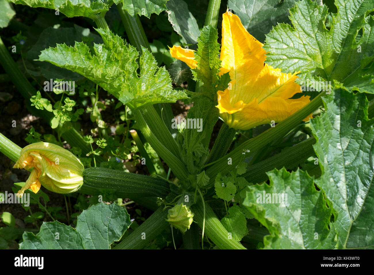 Yellow male and female flowers on a zucchini or courgette plant with young fruit developing under bold cucurbit - Stock Image