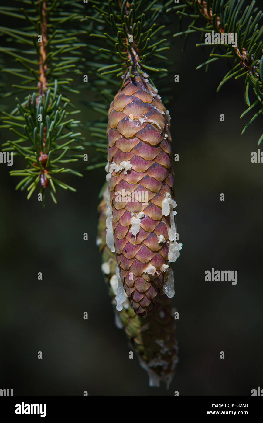 Close up of a Pine tree cone with resin drips. - Stock Image