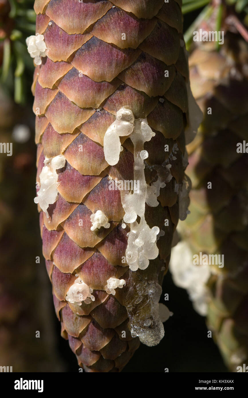 Close up of drips of resin on a Pine tree cone. - Stock Image