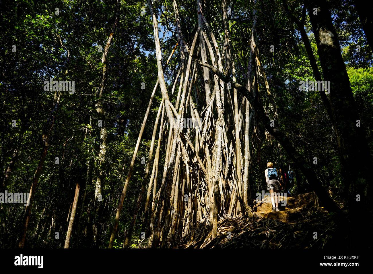 Forest grove Mount Rinjani Lombok Indonesia - Stock Image