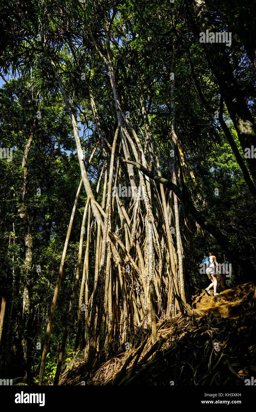 Forest grove Mount Rinjani Lombok Indonesia. Mount Rinjani Lombo - Stock Image