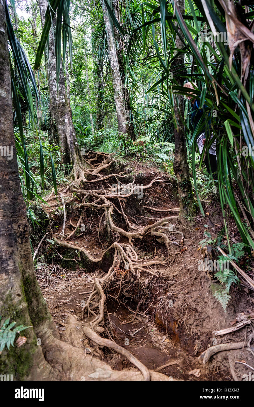 Huge Root Forest grove Mount Rinjani Lombok Indonesia - Stock Image