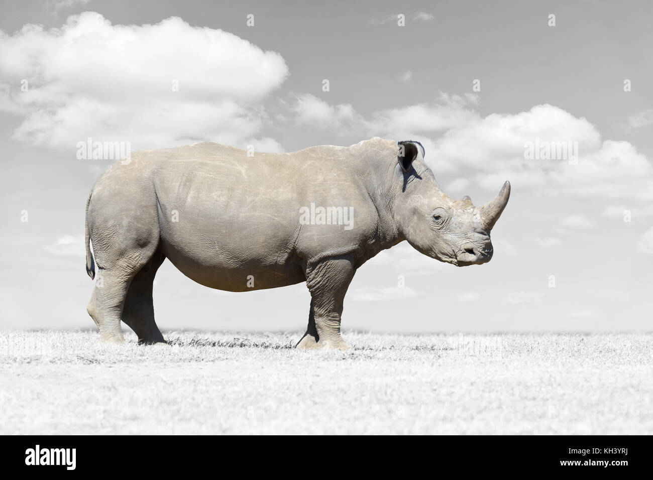 African white rhino, National park of Kenya. Black and white photography with color rhino - Stock Image