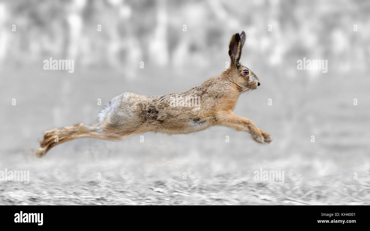 Black and white photography with color run hare - Stock Image