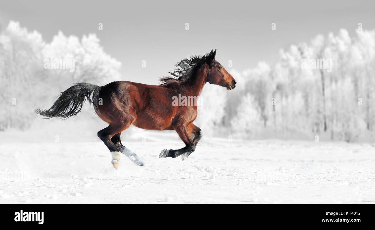 Horse runs gallop on the winter field. Black and white photography with color horse - Stock Image