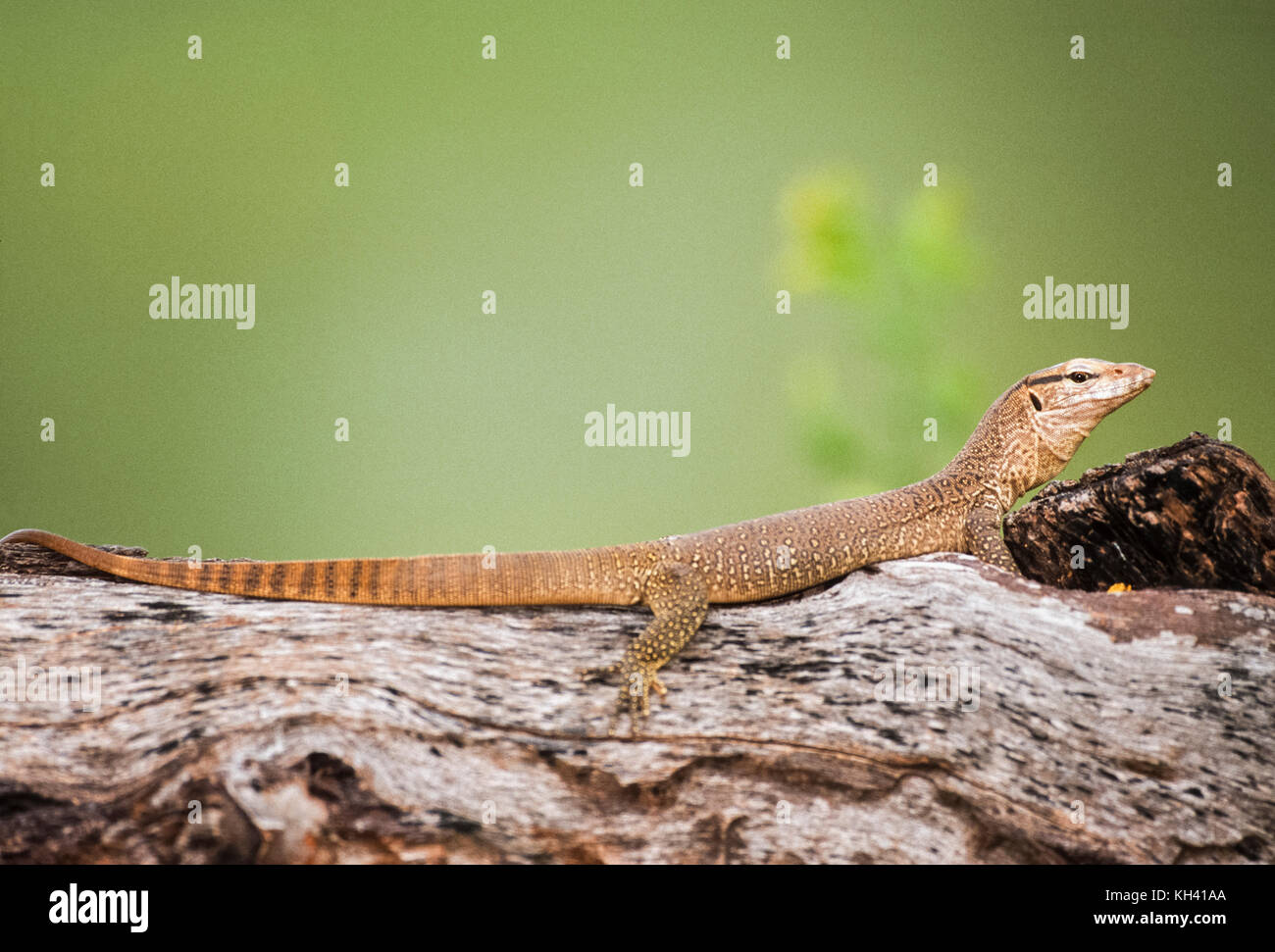 young Bengal monitor or Common Indian monitor, (Varanus bengalensis), in tree habitat, Keoladeo Ghana National Park, Stock Photo