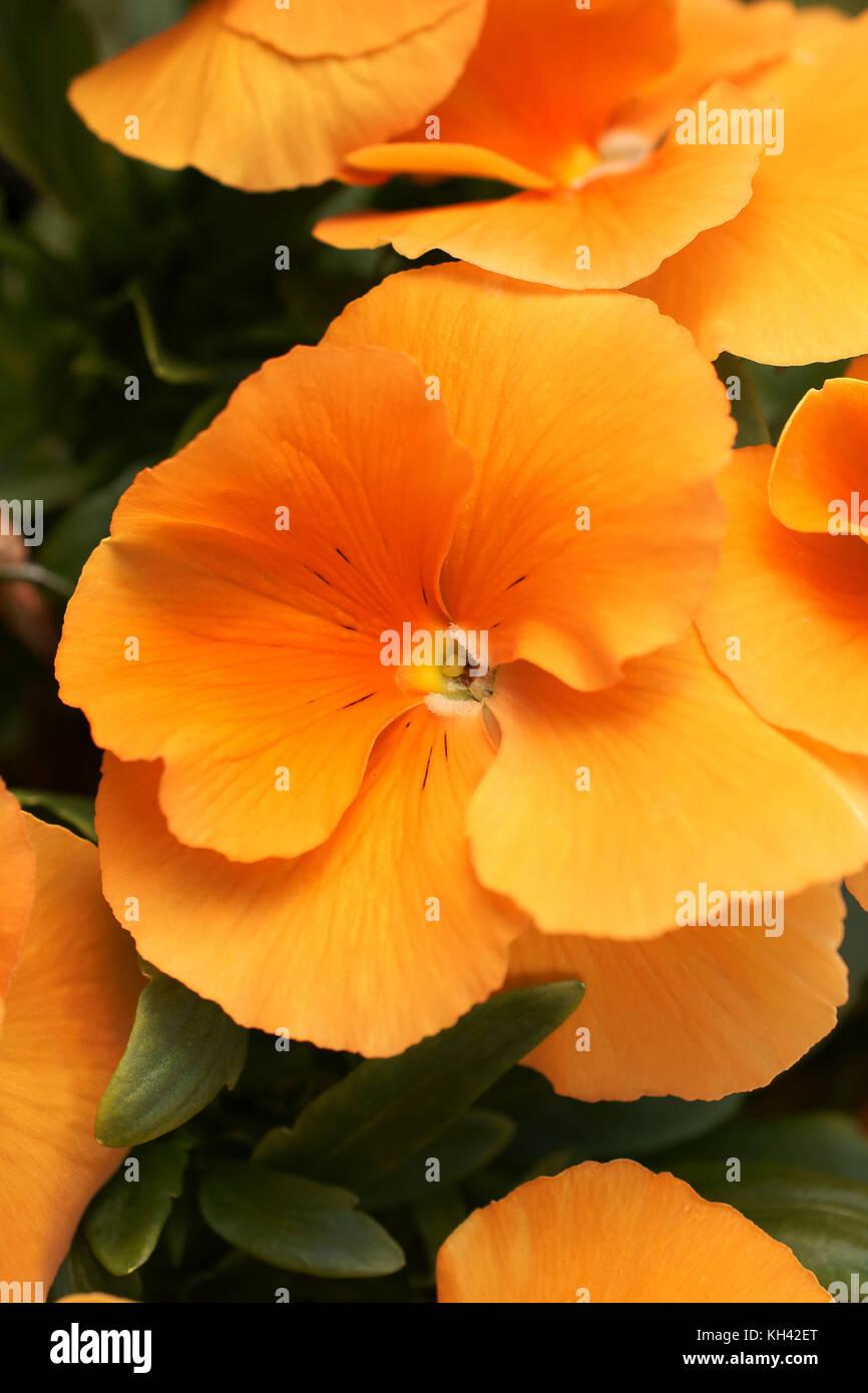 Orange Pansies in full bloom Latin name Viola wittrockiana - Stock Image