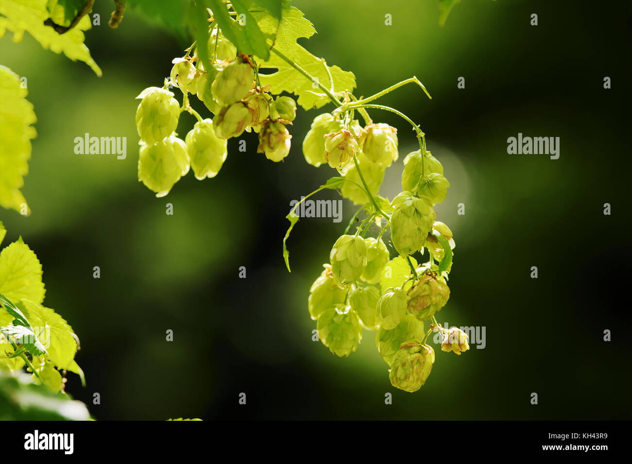 Hops growing on Humulus lupulus plant. Common hop flowers or seed cones and green foliage backlit by the sun. Poland. - Stock Image