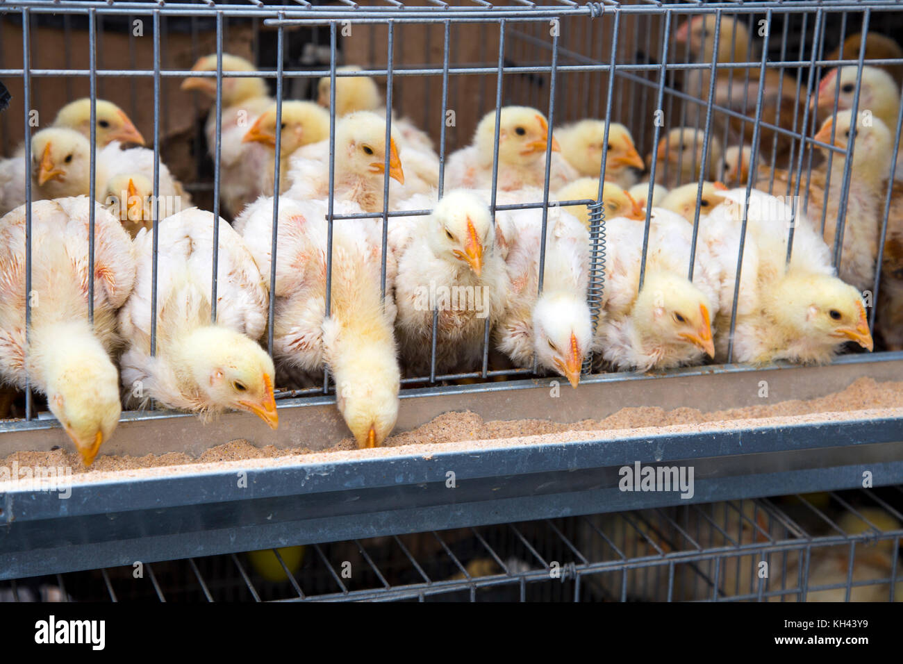 Young baby chicks in a crowded cage eating feed - Stock Image