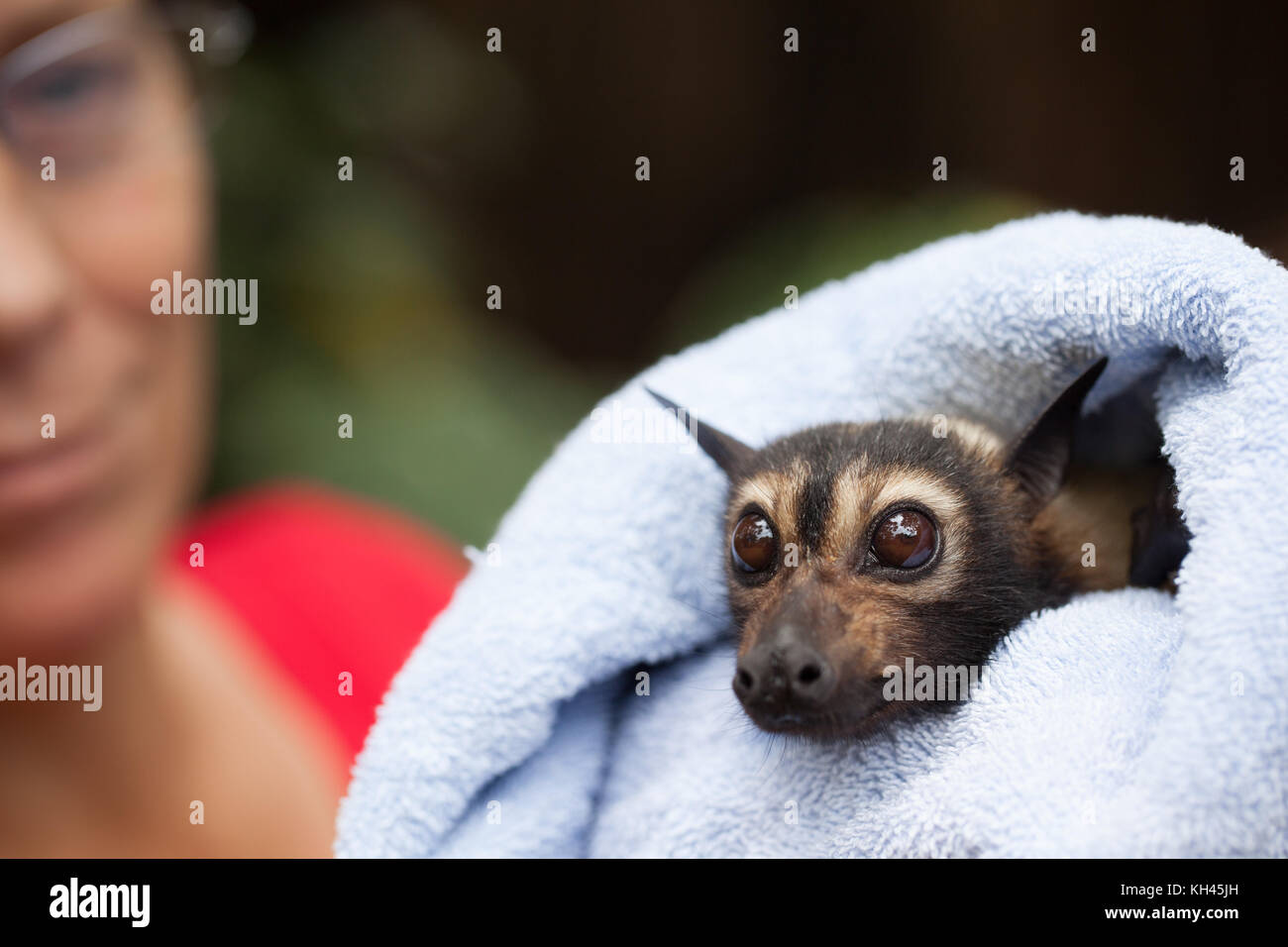 Spectacled Flying-fox (Pteropus conspicillatus). Adult female in care following non-fatal electrocution. Port Douglas. - Stock Image