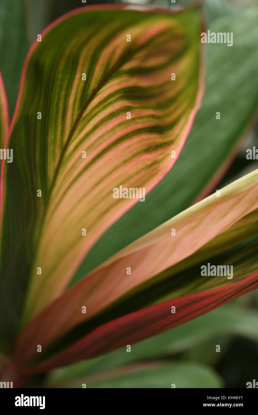 Detail of tropical plant leaves with pink and green hues. - Stock Image