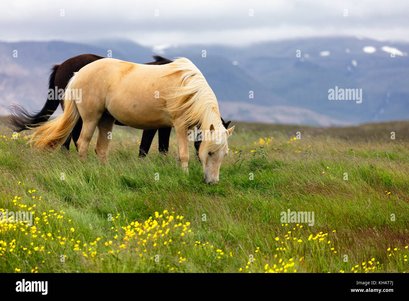 Horses Grazing on a Meadow, Iceland - Stock Image