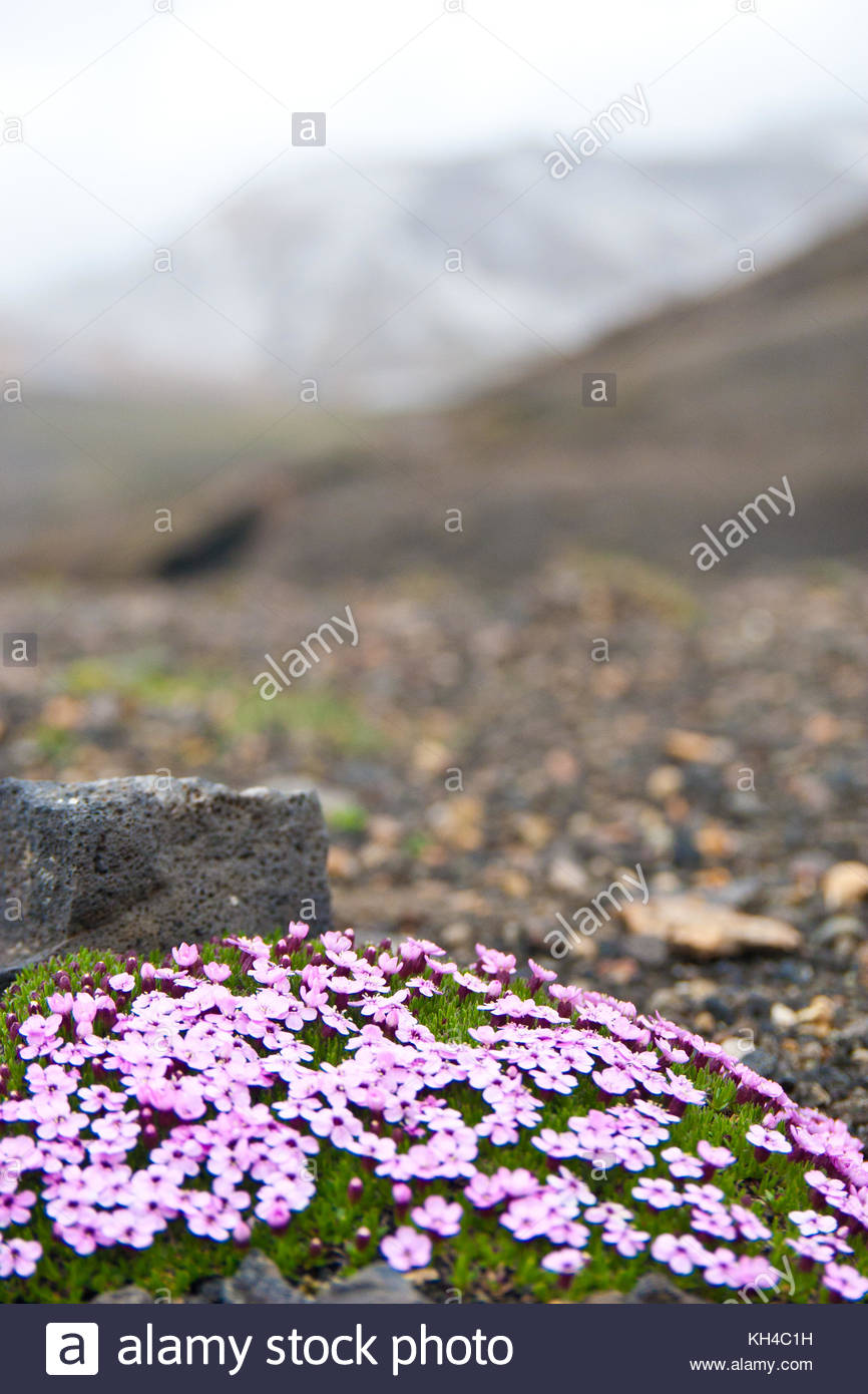 Flowers survive alone in Icelandic landscape - Stock Image