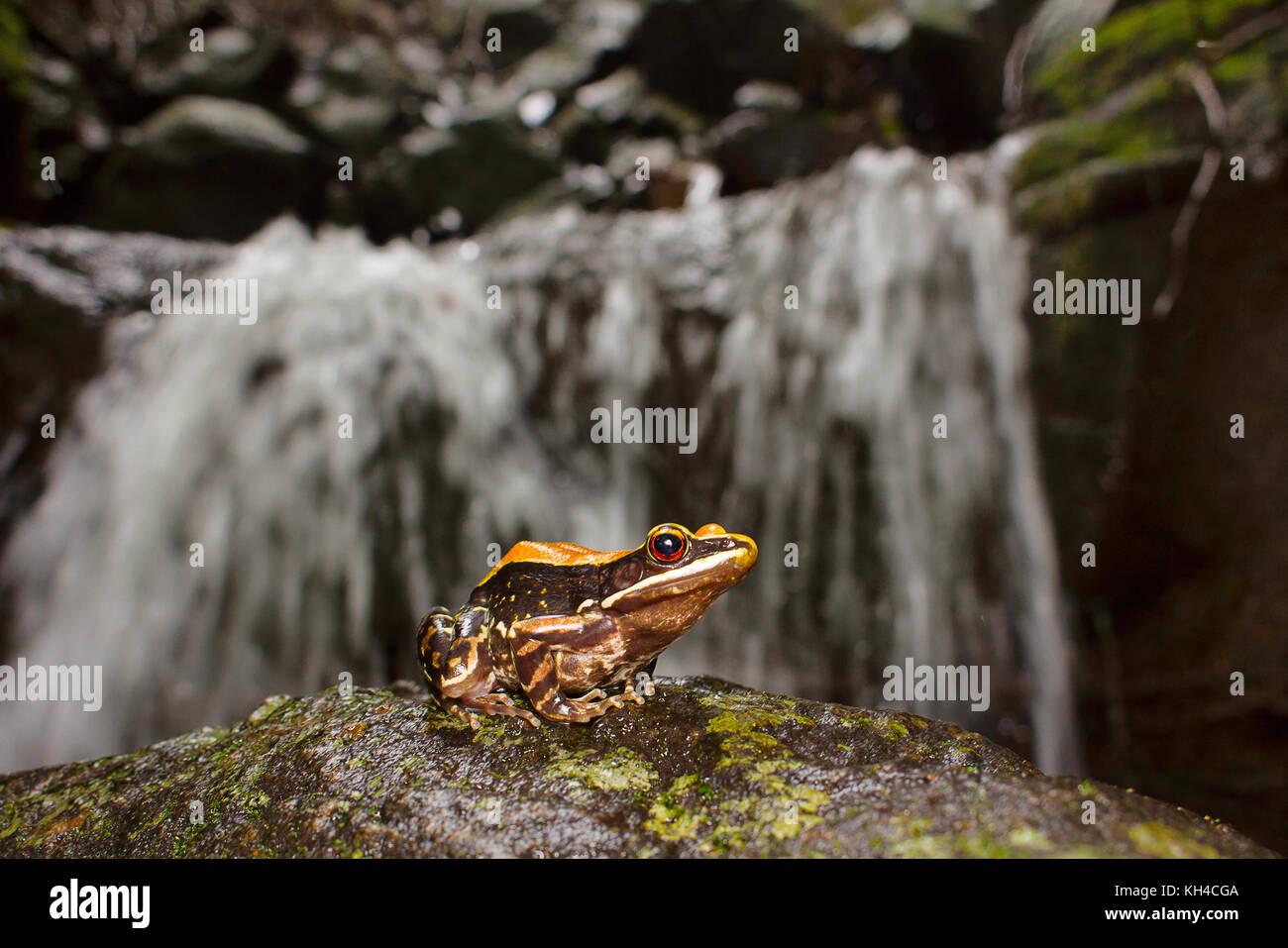 Fungoid Frog, Hylarana malabarica, habitat shot, Mulshi, Maharashtra - Stock Image