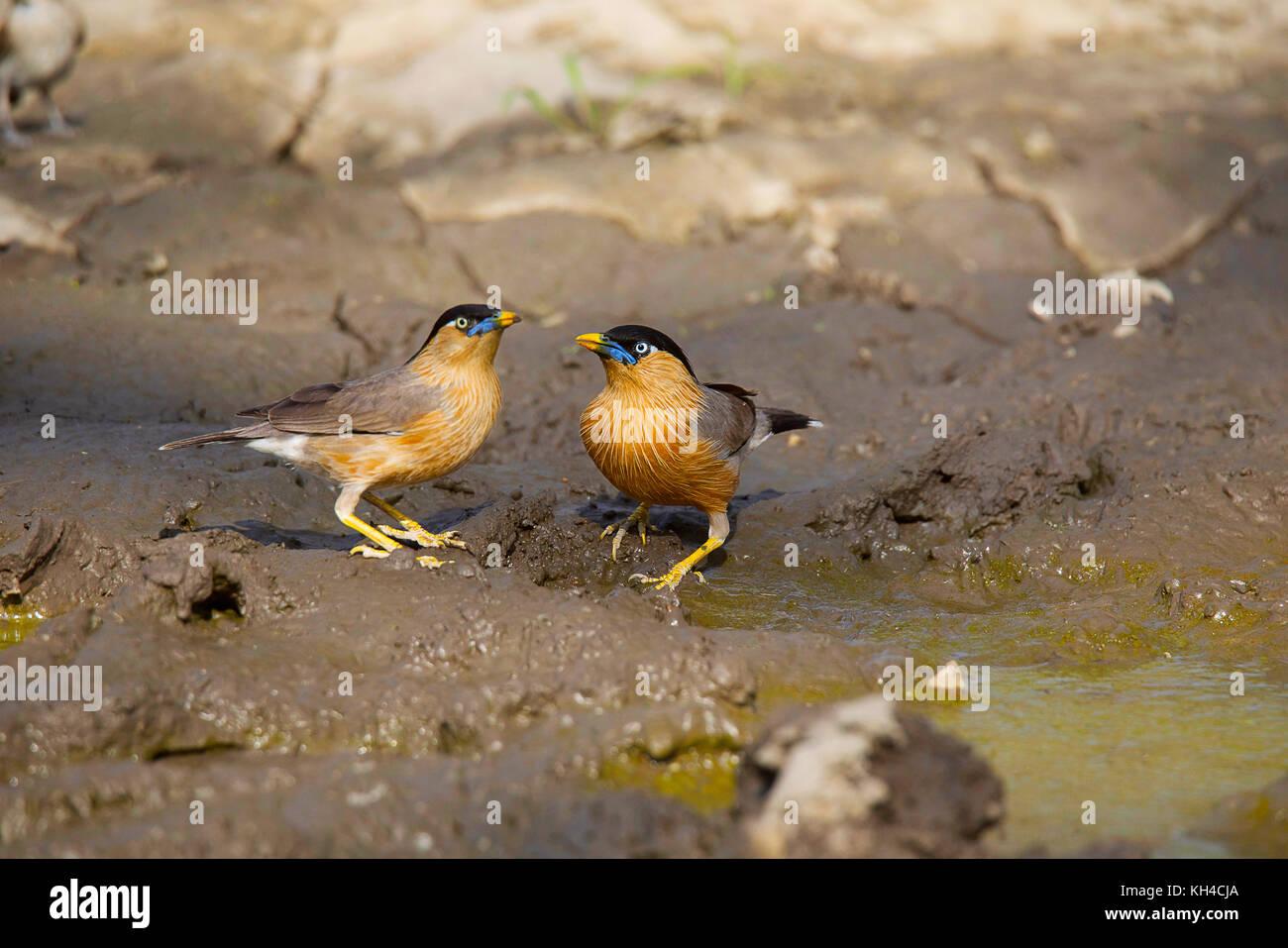 Brahminy Starling, Sturnia pagodarum, Panna Tiger Reserve, Madhya Pradesh - Stock Image